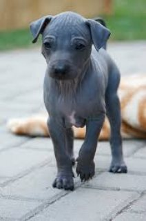 amazing male American Hairless Terrier puppy