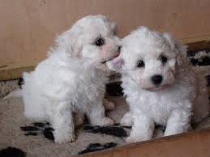 Lovely Bichon Frise Puppies For Sale