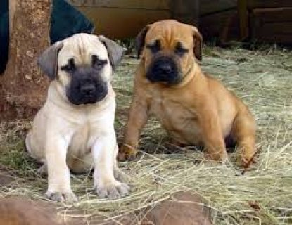 Lovely Boerboel puppies