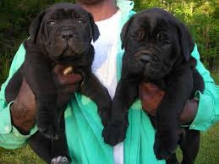 female and male Cane Corso Puppies