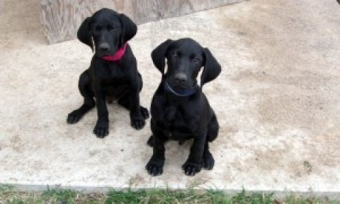 4 German Shorthaired Pointer Puppies for sale