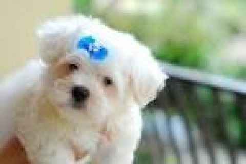 cute and lovely Maltese puppies for adoptionlll