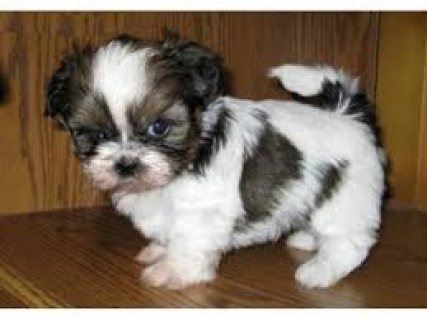 Imperial Shih Tzu Puppies for Adoption