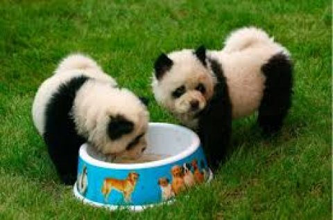 صور panda chow chow puppies for sale 1