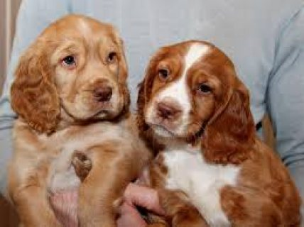 Cocker Spaniel Puppies with papers and all shots!
