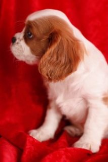 2 Very healthy Cavalier King Charles Spaniel Puppies