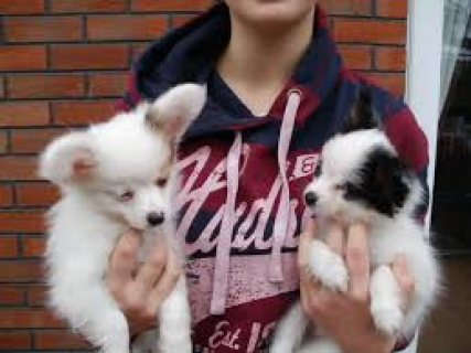 Cute and adorable Papillon Puppies for adoption contact with cel