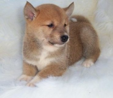 Charming Shiba Inu Puppies for Sale