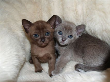 Absolutely Beautiful Burmese Kitten For Sale