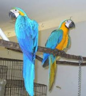 WOW!!! Great Blue ad Gold Macaws Parrots Now ready for sale