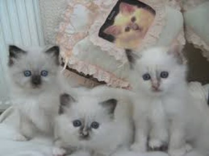 صور Nice Looking Birman Kittens Ready For Good Homes 1