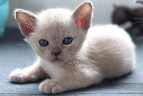 cute male and female Burmese kitten for Sale