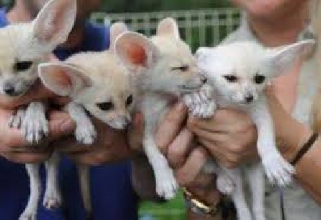 Male and female fennec fox  kittens for sale..