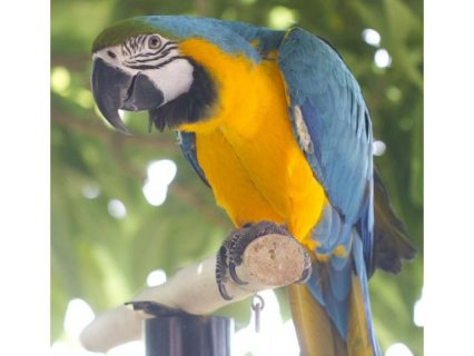 male and female Macaw Parrots for Sale
