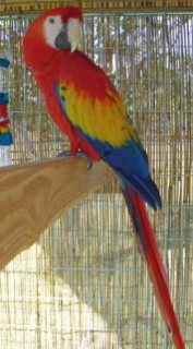 Lovely Scarlet Macaw Parrots for sale