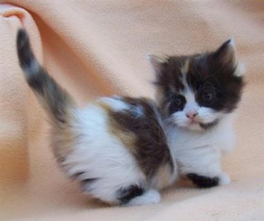 Cute Munchkin Kittens Available For Sale