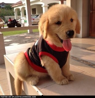 Beautiful Pedigree Golden Retriever puppies