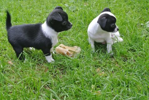 صور Magnifficient Chihuahua Puppies 1