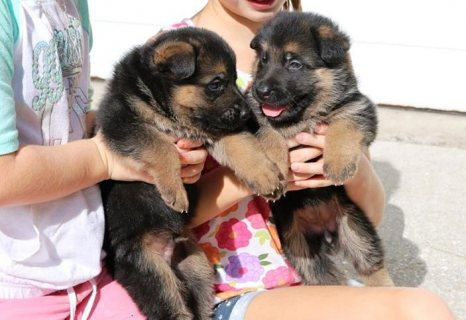 German Shepherd dogs puppies.