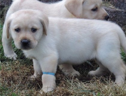 good looking males and females Labrador Retriever Puppies.
