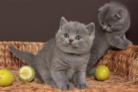 good looking male and female British short hair kittens