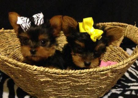 Tcup Yorkshire Terrier Puppies For Sale