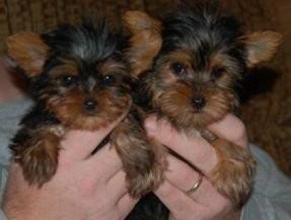 Precious Yorkshire Terrier Puppies