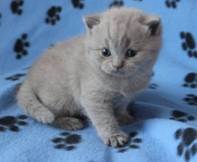 Stunning British Shorthair Kittens,