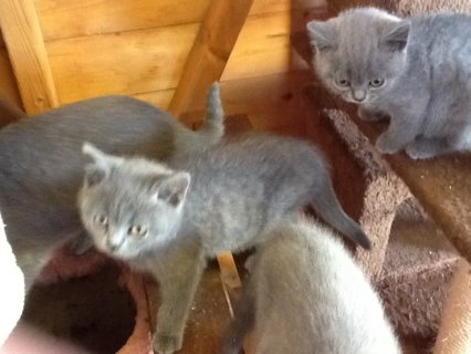Stunning British Shorthair Kittens(estertorres111>@>g>m>a>i>l>.>