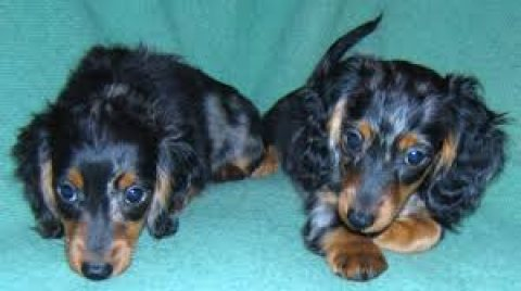Cute and Adorable Dachshund Puppies for sale