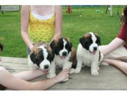Saint Bernard Puppies Available for sale