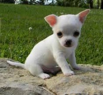 صور Healthy Chihuahua Puppies for sale 1