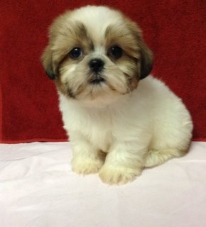 Super Adorable Shihtzu Puppies For Sale