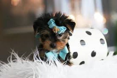 Lovely Teacup Yorkie puppies for sale