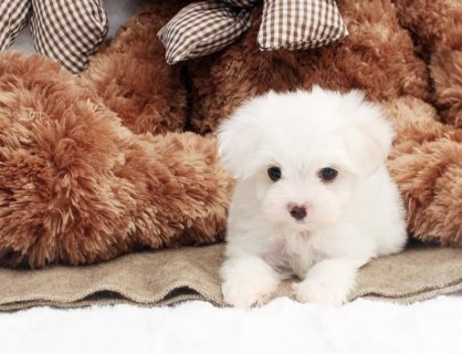 Beautiful Miniature Maltese Puppies Available.