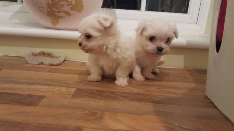 Plaful Maltese puppies for sale