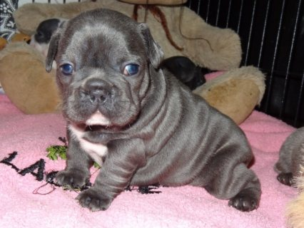 Male And Female French Bull Dog Puppies