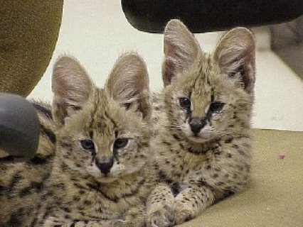 Good looking Super Cute F1 Savannah and Serval Kittens.
