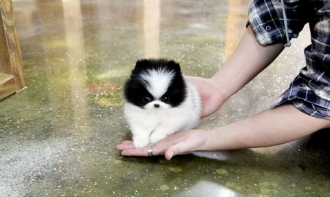 Marvelous Active Males and Females T-cup Pomeranian Puppies
