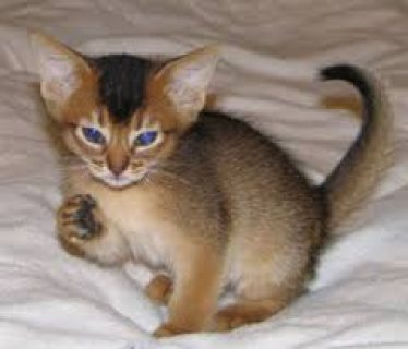 صور Abyssinian kittens for sale .Male and female . 1