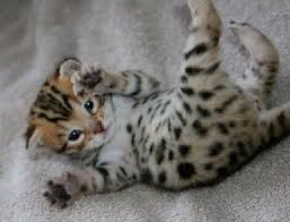 Cute male and female Bengal for sale