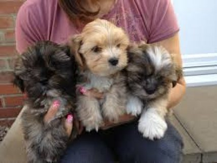 Gorgeous Lhasa Apso Puppies Available Now!