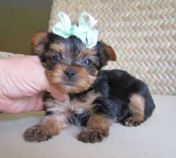 Top Quality Yorkie Puppies For Sale