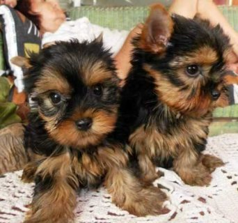 Adorable Yorkie Pups For Sale