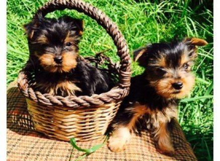 Yorkshire puppies- Male & Female For Sale