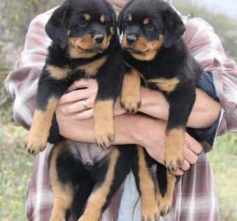 Quality Bred Family Rasied Rottweiler Pups For Sale