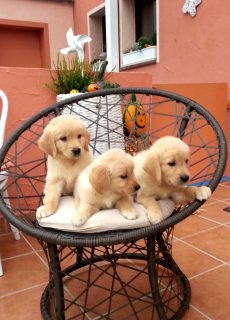 Adorable Golden Retriever Pups For Sale