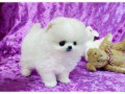 Two Blue Eyes pomeranian  Puppies