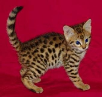 Male And Female Bengal kittens ready///