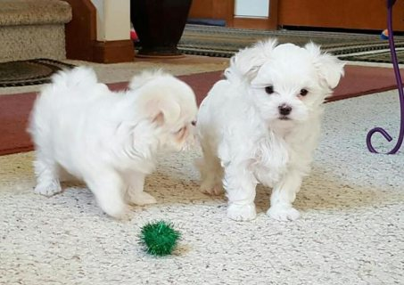 Excellent pedigrees Male and Female maltese puppies for adoption